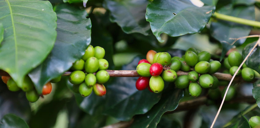 قهوه سبز برای کاهش اشتها و سایز